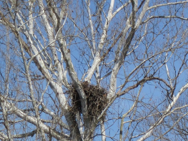 Eagle nest in a sycamore along the Gasconade River.